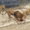 Naked Man Mauled by Lion Live Video