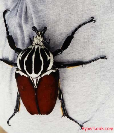 Goliath_Beetle