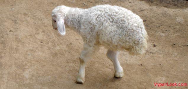 A two-legged lamb