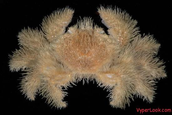 hairy-crab-tm