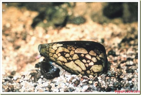 03 most poisonous animals in the world marbled cone snail