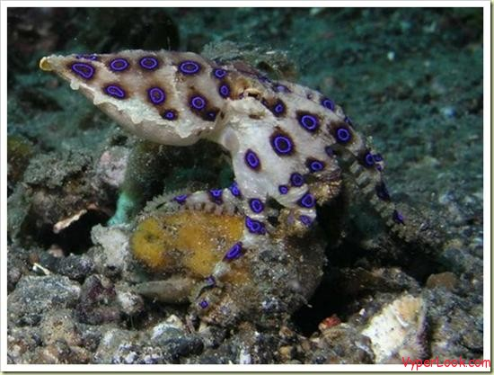 04 most poisonous animals in the world blue ringed octopus
