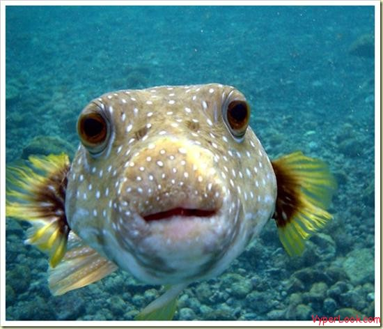 10 most poisonous animals in the world puffer fish