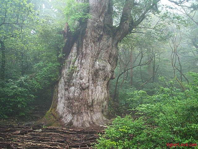 Jhomonsugi in Yaku Island Japan  Oldest Living Things on Earth Pictures Seen on www.VyperLook.com