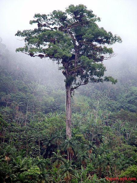 Patriarch-tree