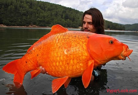 a97197 g131 2 gold fish 10 Of The Worlds Largest Things Pictures Seen on www.VyperLook.com