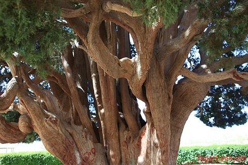 abarkooh_tree