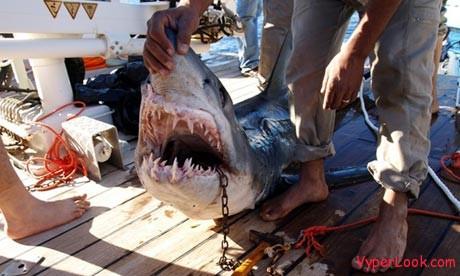 Shark-attack-Sharm-el-She-006