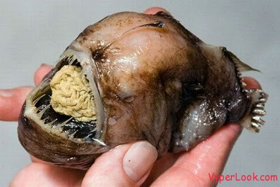 ugliest_and_scariest_fishes_01