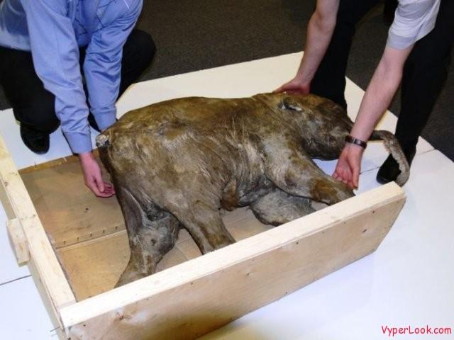 OMG Frozen Baby Mammoth in Russia