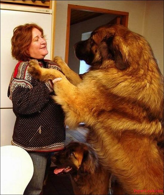 World's Giant Dogs Pictures | Extreme Things