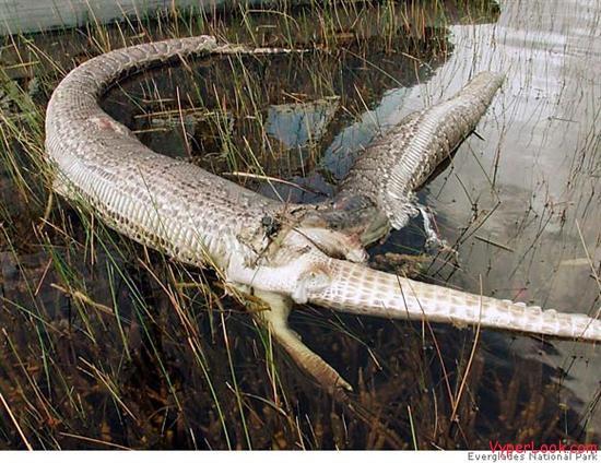 exploding python
