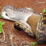 snake-eating-kangaroo-006