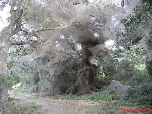 huge spider web is actually the result of millions of spiders working ...