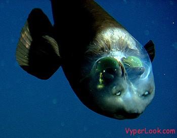 Weird See-Through fish 3