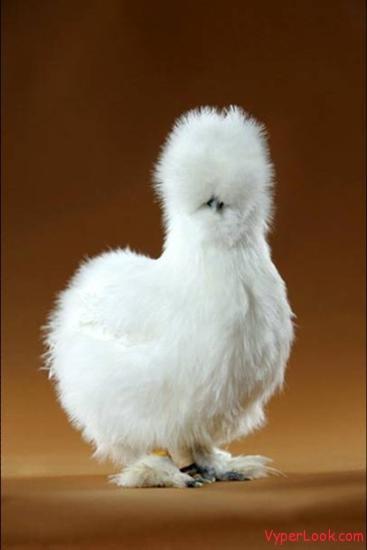 funny chicken 4