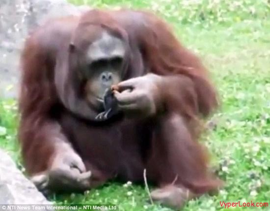Orangutan Saves Duckling From Drowning 3