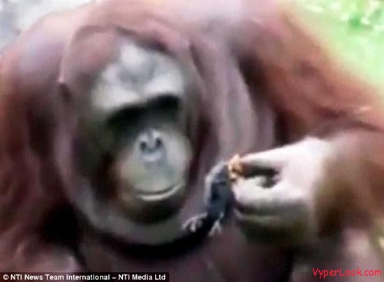 Orangutan Saves Duckling From Drowning 4