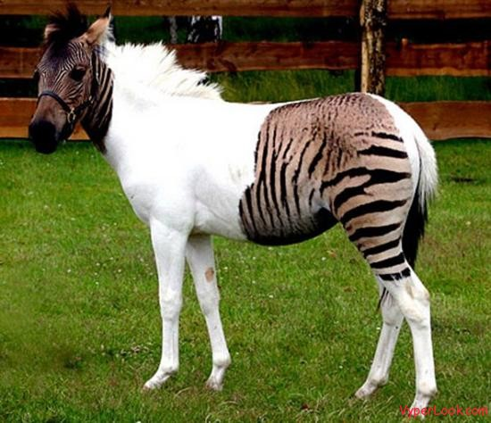 Zebroid Most Bizarre Hybrid Animals In The World Pictures Seen on www.VyperLook.com