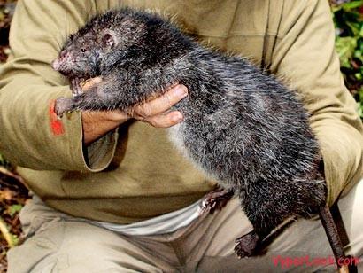 giant-rat