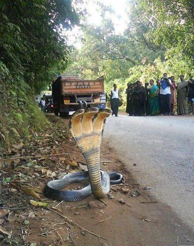 3 headed snake india2