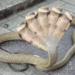 Amazing five headed snake