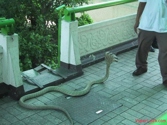 Amazing five headed snake 2