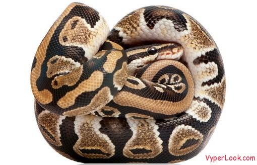 coiled cobra