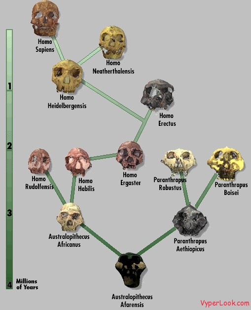 huma evolution tree