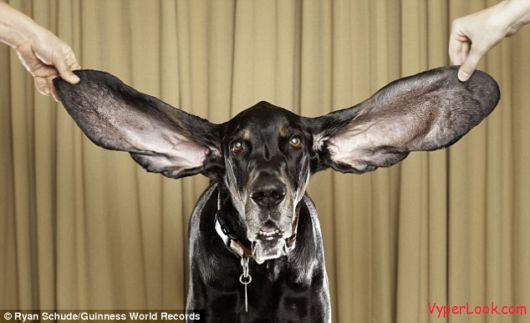 dog biggest ears Meet The Dog With The Longest Ears In The World Pictures Seen on www.VyperLook.com