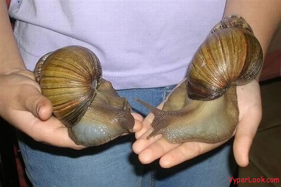 giant african snail 2