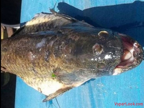 3-Eyed Monster Fish 2