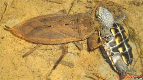 Gross Giant Water Bug Devours Turtle
