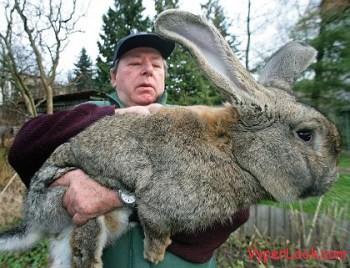 The huge rabbit