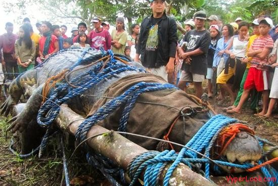 giant saltwater crocodile found philippines tied