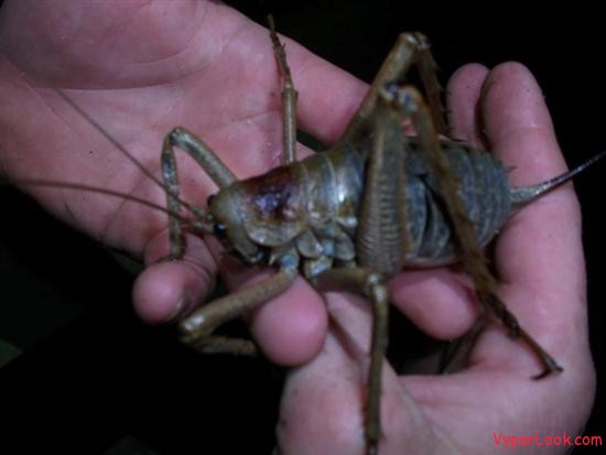 largest bug giant weta3