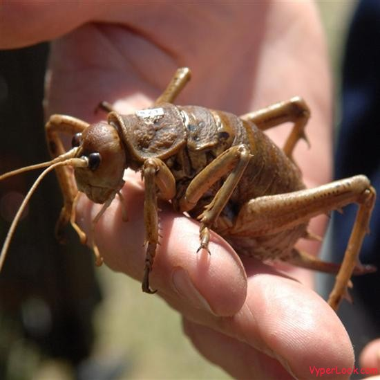 largest bug giant weta4