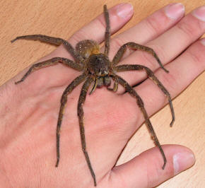 Brazilian wandering spider The Biggest And Largest Spiders in the World as seen on CoolWeirdo.com