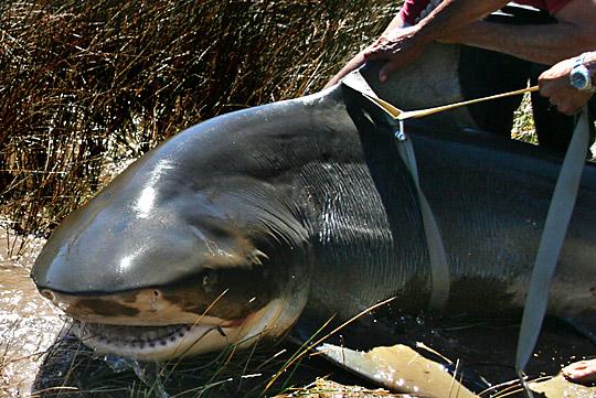 BullShark Worlds Biggest Shark Ever Captured: 40 Feet Long Pictures Seen on www.VyperLook.com