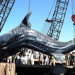 Giant wale shark pakistan 1