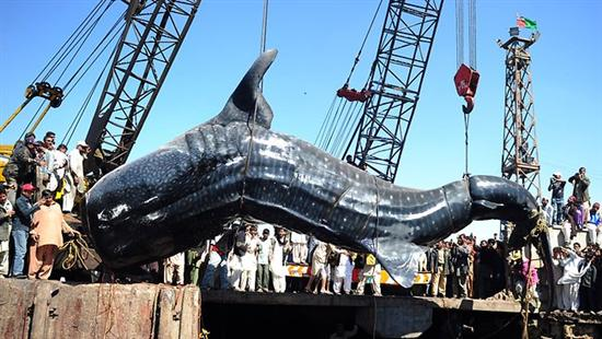 Giant wale shark pakistan 1 Worlds Biggest Shark Ever Captured: 40 Feet Long as seen on CoolWeirdo.com