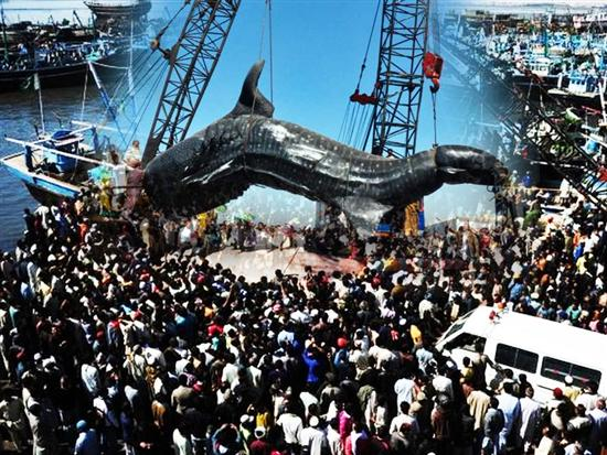 Giant wale shark pakistan 2 Worlds Biggest Shark Ever Captured: 40 Feet Long Pictures Seen on www.VyperLook.com