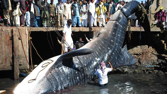 Giant wale shark pakistan 3 Worlds Biggest Shark Ever Captured: 40 Feet Long as seen on CoolWeirdo.com