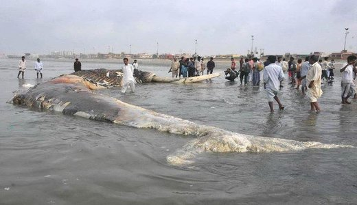 Giant wale shark pakistan 4 Worlds Biggest Shark Ever Captured: 40 Feet Long as seen on CoolWeirdo.com