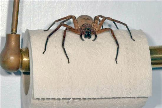 Huntsman Spider The Biggest And Largest Spiders in the World as seen on CoolWeirdo.com