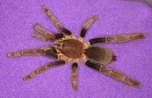 Hysterocrates Spider