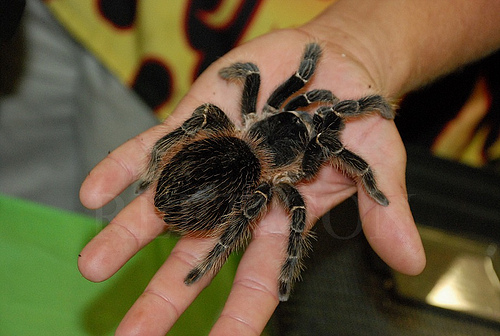 Lasiodora parahybana The Biggest And Largest Spiders in the World as seen on CoolWeirdo.com