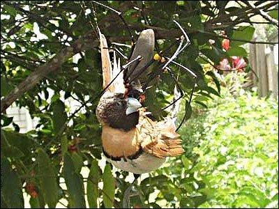 Spider eating bird