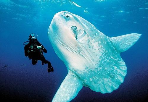 The ocean sunfish 6