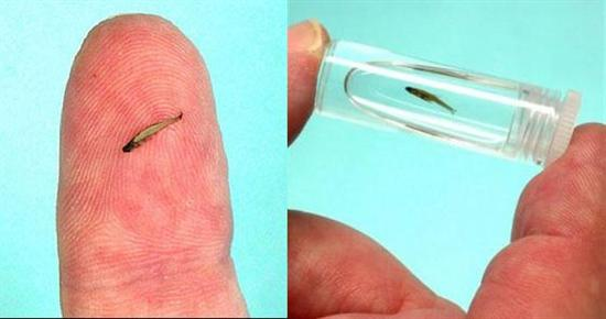World's Smallest Fish 1 Top 10 Smallest Animals In The World as seen on CoolWeirdo.com